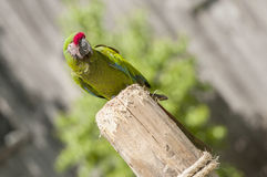 Green macaw Royalty Free Stock Image