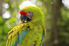 Green macaw in the forest Royalty Free Stock Photo