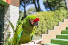 Green macaw parrot -close up Royalty Free Stock Images