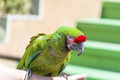 Green macaw parrot -close up Royalty Free Stock Photo