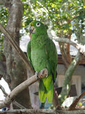 Green macaw parrot perched on a tree limb Stock Photos