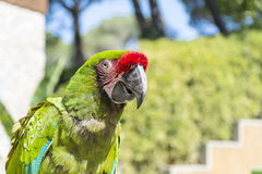 Green  macaw parrot. Sitting on a tree in the zoo in Marineland ,Spain Royalty Free Stock Photos