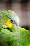 Green macaw parrot sleeping Royalty Free Stock Image