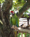 Green macaw parrot on a tree limb Royalty Free Stock Photos