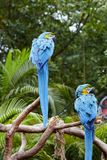 Green Macaws on branches. Two Macaws standing over tree branches, outdoor wildlife Stock Photos