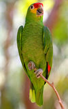 Green macaws parrot. Stock Images