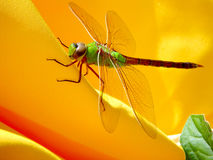 Green Machine. Green Darner on a yellow umbrella Stock Image