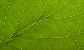 Green macro leaf Royalty Free Stock Images