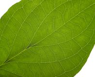 Green macro leaf Stock Images