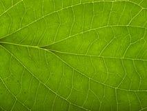 Green macro leaf Stock Image