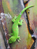 Green Madagascar day gecko. On a palm tree Stock Photos