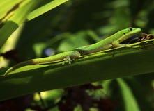 Green madagascar gecko Stock Photo