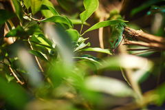 Green Madagascar gecko drinking dew Royalty Free Stock Photo