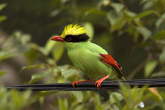 Green Magpie Royalty Free Stock Photos