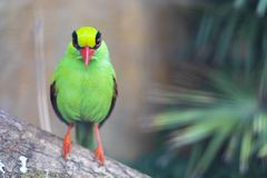 Green Magpie Bird Front View. A green magpie bird, also knows as Cissa chinensis, can be recognised by its red beak and eyes, and black mask stock photography