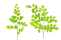 Green maidenhair fern leaves is isolated on white Royalty Free Stock Photo