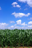Green maize. Sown field of green maize royalty free stock photos