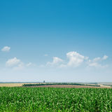 Green maize and blue sky Stock Photography