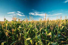Green Maize Corn Field Plantation In Summer Agricultural Season. Stock Photo