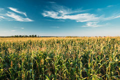 Green Maize Corn Field Plantation In Summer Agricultural Season. Stock Image