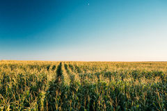 Green Maize Corn Field Plantation In Summer Agricultural Season. Royalty Free Stock Photos