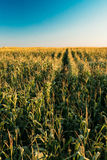 Green Maize Corn Field Plantation In Summer Agricultural Season. Royalty Free Stock Image