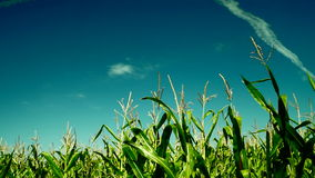 Green maize corn plants growing in cultivated agricultural field,plane traces stock video footage