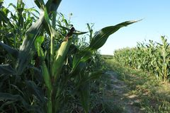 Green maize crop. In growth at farm Stock Photography