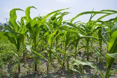 Green Maize crop plants, Manikgonj, Bangladesh. Maize in Bangladesh at most Third important cereal after rice and wheat. New crop: 3100 ha in 1900, 10000 ha in Royalty Free Stock Image