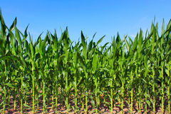 Green maize field Royalty Free Stock Photography