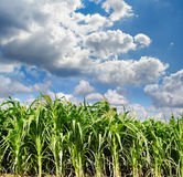 Green maize field Stock Images
