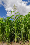 Green maize in field Stock Images