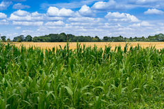 Green Maize field and Blue Sky Royalty Free Stock Photos