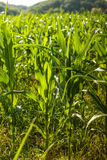 Green maize field Royalty Free Stock Image