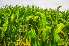 Green maize field in July Royalty Free Stock Photo