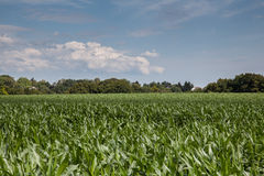 Green maize field Royalty Free Stock Images