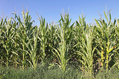 Green Maize Royalty Free Stock Images