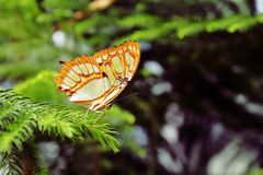 Green Malachite Butterfly on a Branch royalty free stock images