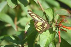 Malachite Butterfly On a Green Leaf in a Garden. Green malachite butterfly resting on a leaf in a garden stock image
