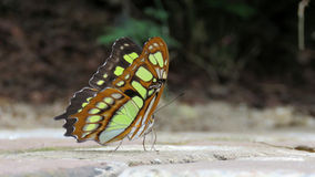 Green Malachite Butterfly (siproeta stelenes). Lime green chrysalis spotted butterfly on the ground royalty free stock photo