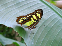 Green Malachite Butterfly (siproeta stelenes) Stock Images