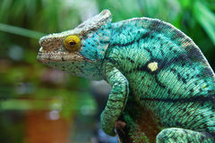 Green male chameleon. On the tree Stock Photos