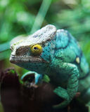 Green male chameleon Stock Photos