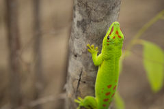 Green male giant daily Geko lizard on a tree in Madagascar Stock Image