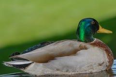 Green mallard floating in calm pond Stock Image