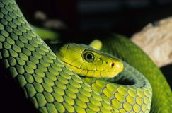 Green mamba. One of the most venomous snakes in the world, the green mamba is a snake to reckon with. Fast,intelligent and big Stock Photos