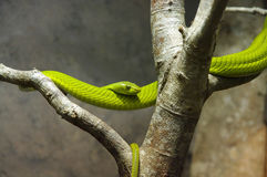 Green mamba Stock Image
