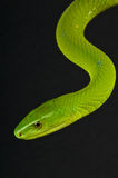 Green mamba. The eastern green mamba or common mamba (Dendroaspis angusticeps) is a venomous arboreal snake indigenous to the eastern side of southern Africa Royalty Free Stock Photos