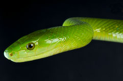 Green mamba. The eastern green mamba or common mamba (Dendroaspis angusticeps) is a venomous arboreal snake indigenous to the eastern side of southern Africa Royalty Free Stock Photo