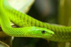 Green mamba 2 Royalty Free Stock Image